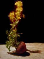「蕪の花、1」 F6